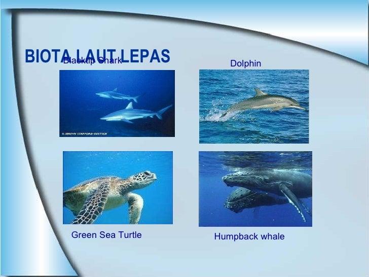 BIOTA LAUT LEPAS  Blacktip Shark Dolphin Humpback whale Green Sea Turtle