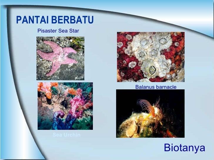 PANTAI BERBATU Pisaster Sea Star Balanus barnacle Sea Urchin Biotanya
