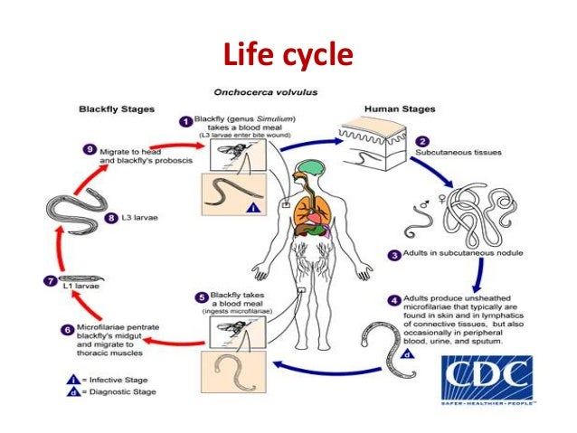 Filarial Worms Life Cycle Filarial worms ...