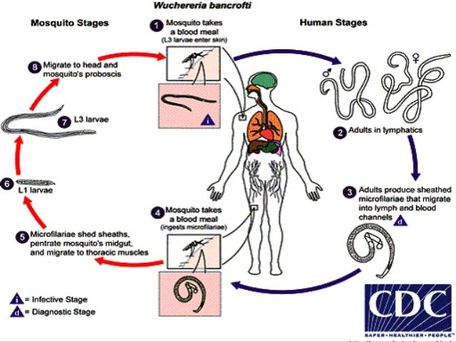 Filarial Worms Life Cycle Filariasis