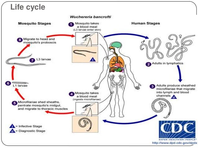 Filarial Worms Life Cycle Lymphatic Filar...