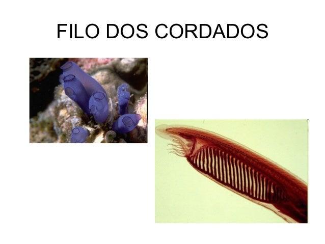 FILO DOS CORDADOS