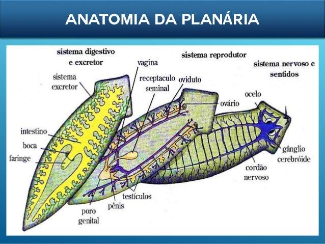 Filo platyhelmintes platelmintos