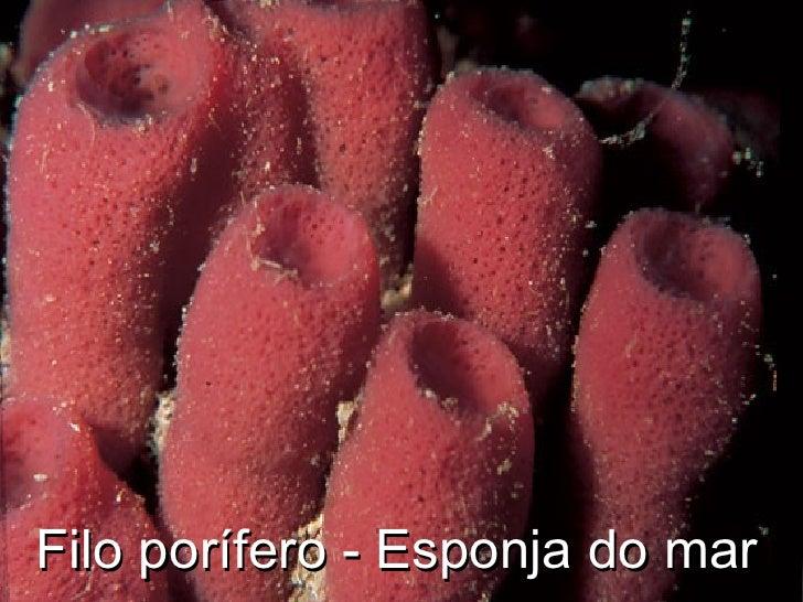 Filo porífero - Esponja do mar