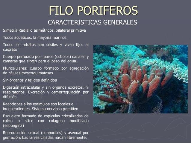 FILO PORIFEROS                          CARACTERISTICAS GENERALESSimetría Radial o asimétricos, bilateral primitivaTodos a...
