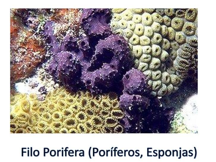 » São animais aquáticos» Corpo recoberto por poros» Não formam tecidos  verdadeiros(parazoários)