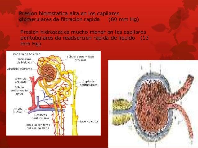 Diferencias regionales en la estructura de la neurona: nefronas corticales y yuxtaglomerulares