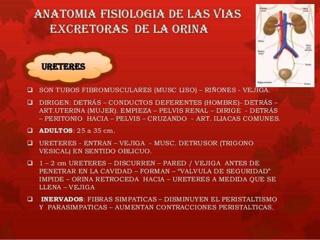 URETRA URETRA MASCULINA TUBO – 20 cm/LONGITUD EXTIENDE DESDE – CUELLO ATRAVIESA LA GLANDULA PROSTATICA, EL DIAFRAGMA UROGE...