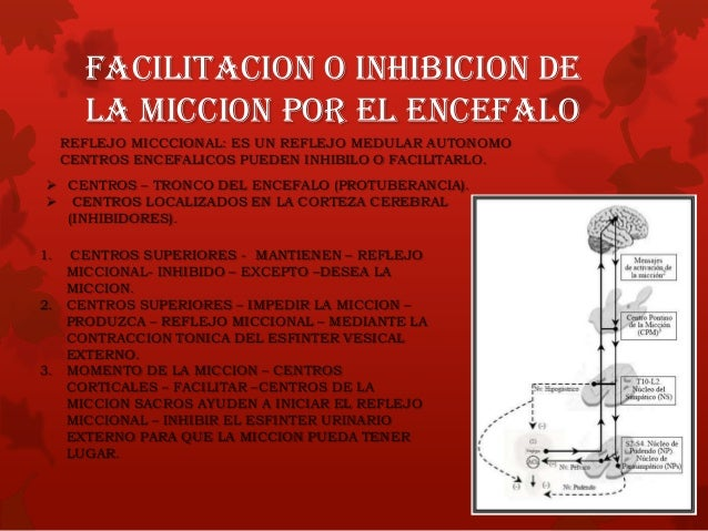  Pequeñas cantidades en la orina (Se reabsorben mucho) Cloro Sodio Bicarbonato  Pequeñas cantidades (Completa Reabsorció...