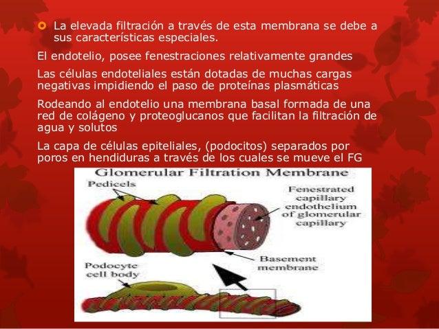 El Aumento de la Presión Hidrostática capilar glomerular incrementa el FG La presión hidrostática capilar glomerular es de...