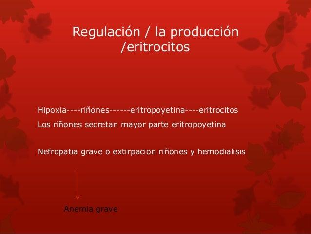 Regulación / la producción /eritrocitos Hipoxia----riñones------eritropoyetina----eritrocitos Los riñones secretan mayor p...