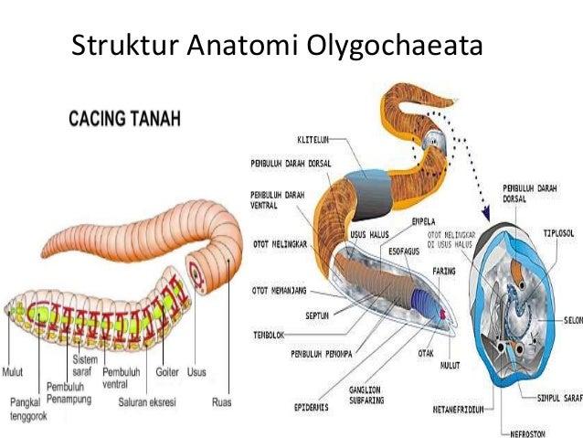 65 Gambar Organ Cacing Tanah Kekinian