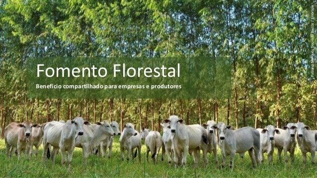 Fomento Florestal Benefício compartilhado para empresas e produtores FabianoMarquesDouradoBastos/Embrapa 1