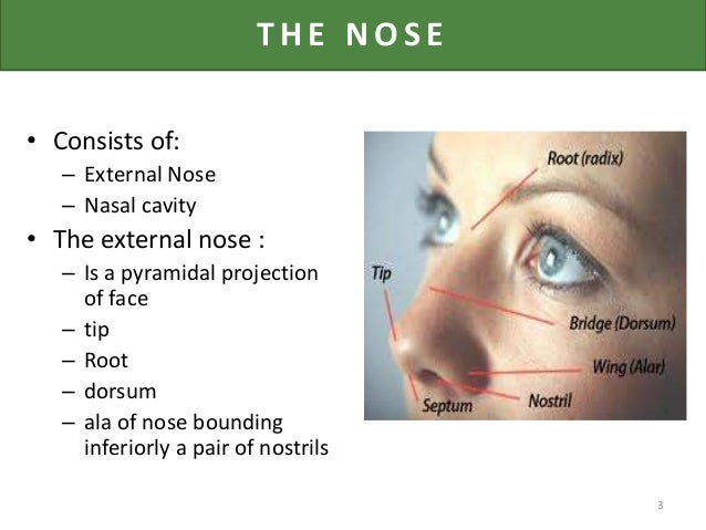 surgical anatomy of nose