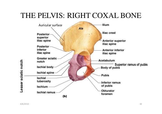 Coxal Bone Medial Diagram - Basic Guide Wiring Diagram •
