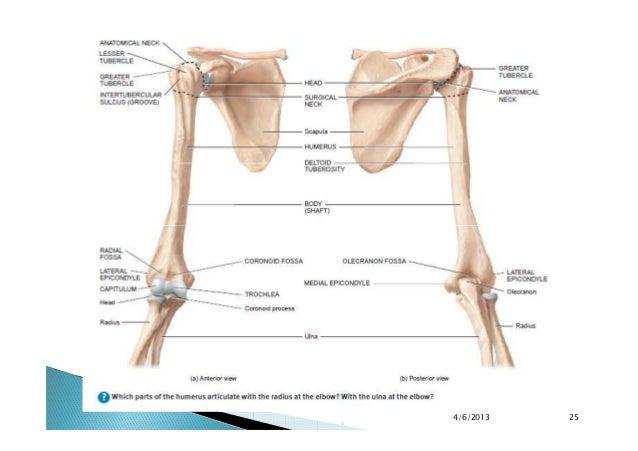 final appendicular skeleton upper limbs