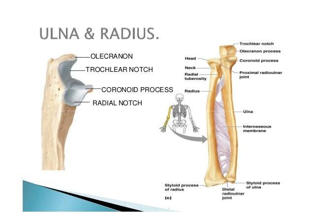 Final appendicular skeleton(upper limbs).