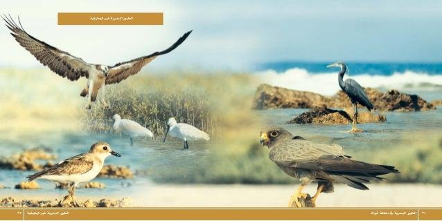 تبوكمنطقةيفالبحريةالطيور 3435 احلقيقيةغريالبحريةالطيور احلقيقيةغريالبحريةالطيور