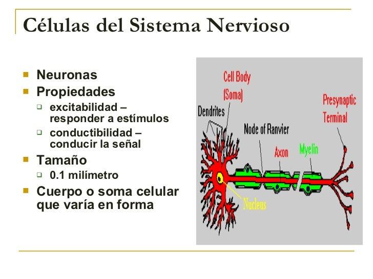 Células del Sistema Nervioso <ul><li>Neuronas </li></ul><ul><li>Propiedades  </li></ul><ul><ul><li>excitabilidad – respond...