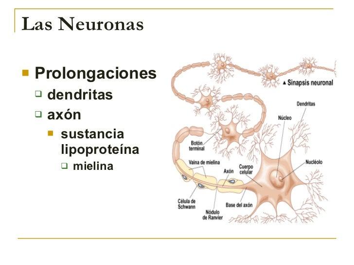 Las Neuronas <ul><li>Prolongaciones </li></ul><ul><ul><li>dendritas </li></ul></ul><ul><ul><li>axón </li></ul></ul><ul><ul...