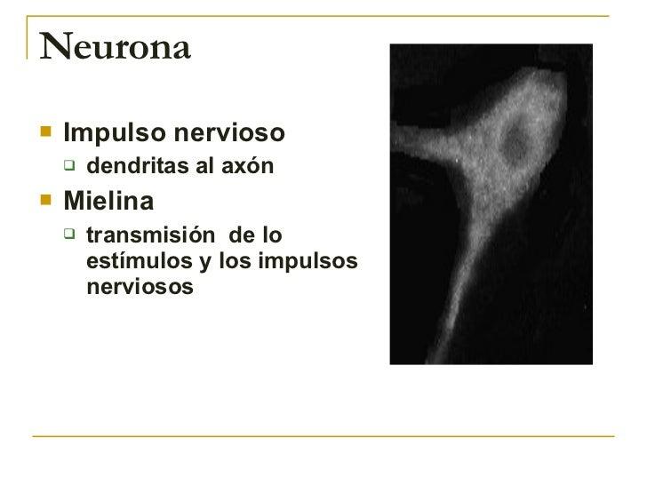 Neurona <ul><li>Impulso nervioso  </li></ul><ul><ul><li>dendritas al axón  </li></ul></ul><ul><li>Mielina  </li></ul><ul><...
