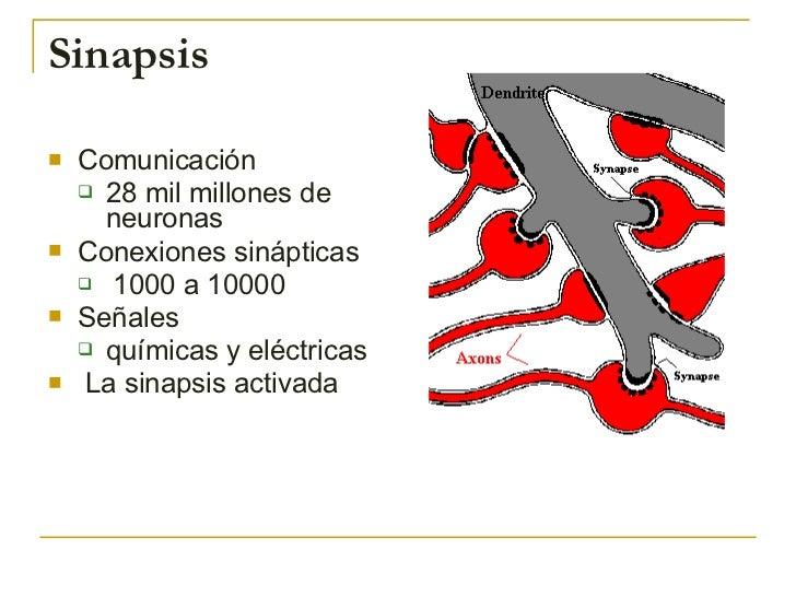 Sinapsis <ul><li>Comunicación  </li></ul><ul><ul><li>28 mil millones de neuronas </li></ul></ul><ul><li>Conexiones sinápti...