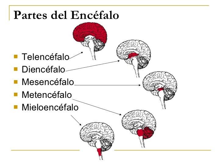 Partes del Encéfalo <ul><li>Telencéfalo </li></ul><ul><li>Diencéfalo </li></ul><ul><li>Mesencéfalo </li></ul><ul><li>Meten...