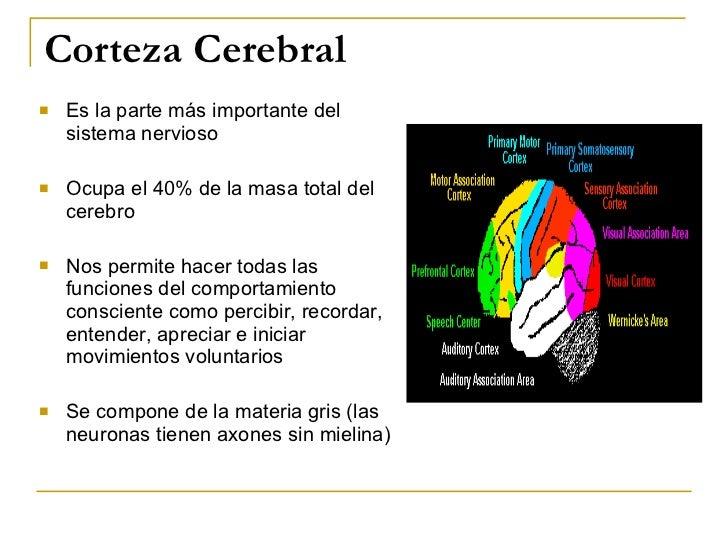 Corteza Cerebral <ul><li>Es la parte más importante del sistema nervioso </li></ul><ul><li>Ocupa el 40% de la masa total d...