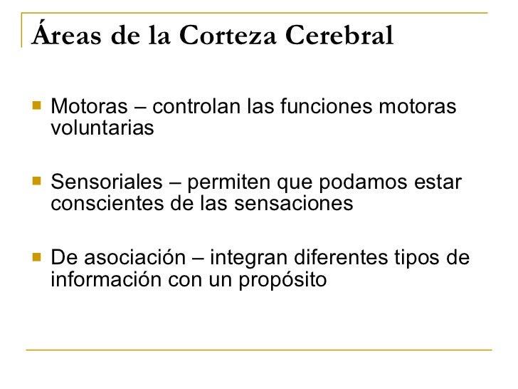 Áreas de la Corteza Cerebral <ul><li>Motoras – controlan las funciones motoras voluntarias </li></ul><ul><li>Sensoriales –...