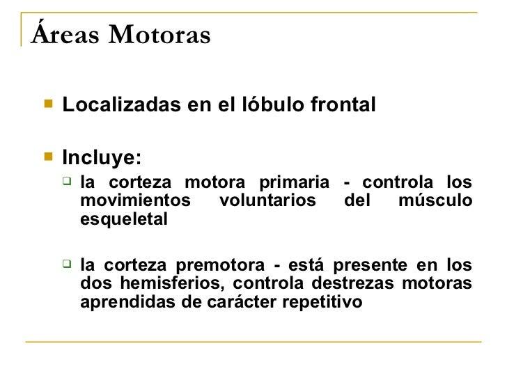 Áreas Motoras <ul><li>Localizadas en el lóbulo frontal </li></ul><ul><li>Incluye: </li></ul><ul><ul><li>la corteza motora ...