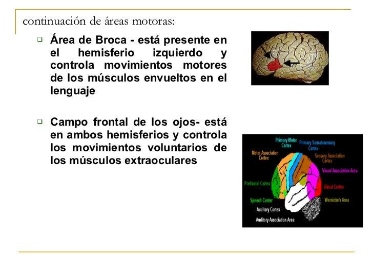continuación de áreas motoras: <ul><ul><li>Área de Broca - está presente en el hemisferio izquierdo y controla movimientos...