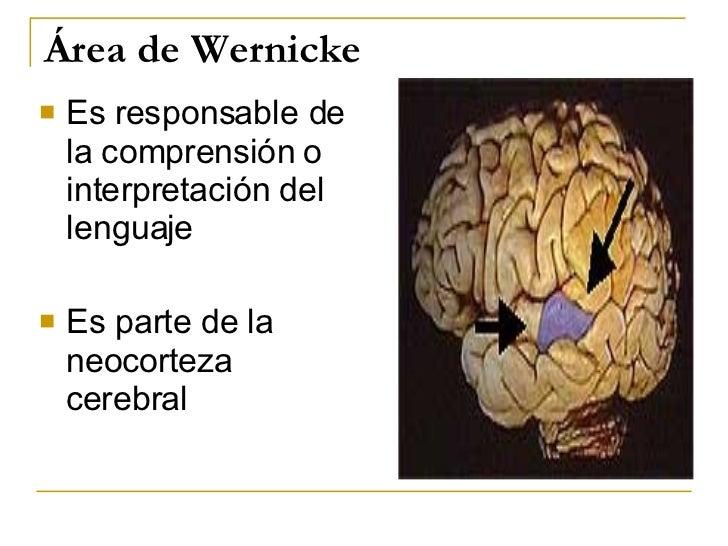 Área de Wernicke <ul><li>Es responsable de la comprensión o interpretación del lenguaje </li></ul><ul><li>Es parte de la n...