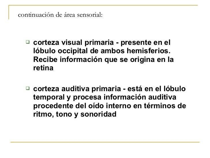 continuación de área sensorial: <ul><ul><li>corteza visual primaria - presente en el lóbulo occipital de ambos hemisferios...