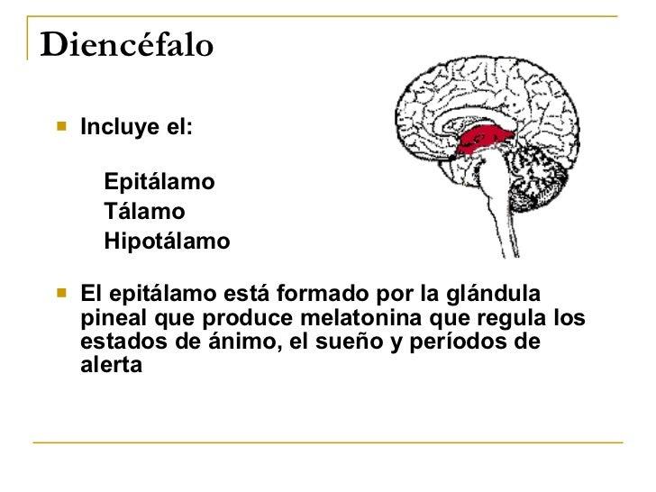 Diencéfalo <ul><li>Incluye el: </li></ul><ul><ul><li>Epitálamo </li></ul></ul><ul><ul><li>Tálamo </li></ul></ul><ul><ul><l...
