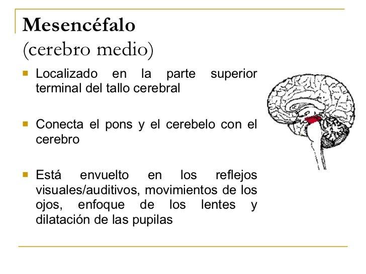 Mesencéfalo  (cerebro medio) <ul><li>Localizado en la parte superior terminal del tallo cerebral </li></ul><ul><li>Conecta...