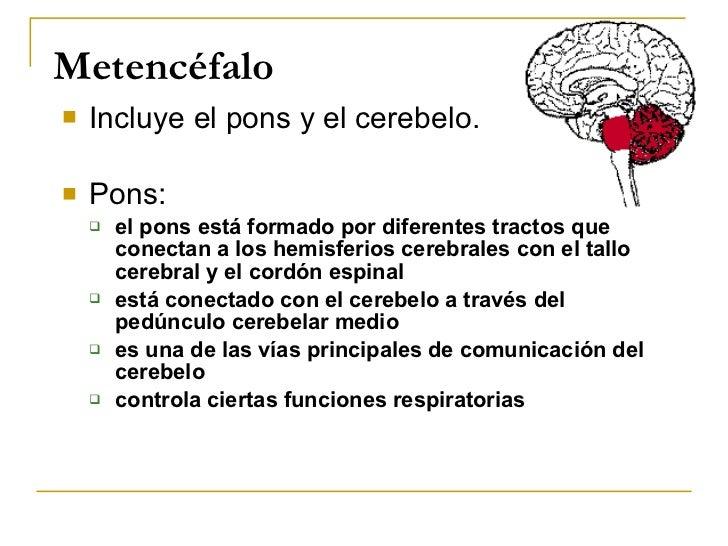 Metencéfalo <ul><li>Incluye el pons y el cerebelo. </li></ul><ul><li>Pons: </li></ul><ul><ul><li>el pons está formado por ...