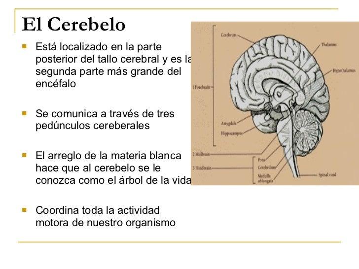 El Cerebelo <ul><li>Está localizado en la parte posterior del tallo cerebral y es la segunda parte más grande del encéfalo...