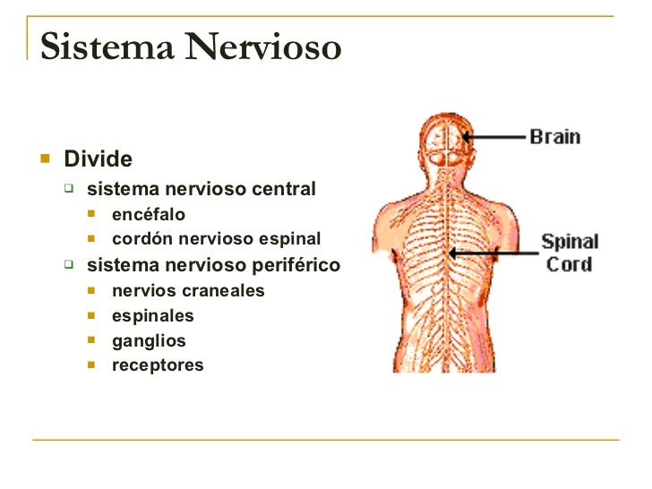 Sistema Nervioso <ul><li>Divide </li></ul><ul><ul><li>sistema nervioso central </li></ul></ul><ul><ul><ul><li>encéfalo </l...