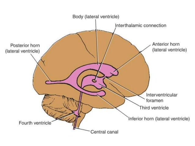 WHENEVER THE BRAIN SWELLS , THE GYRIBECOME LARGER AND THE SULCI SHRINK