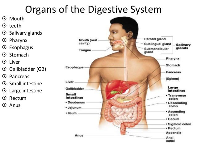 digestive system and disorders, Human Body
