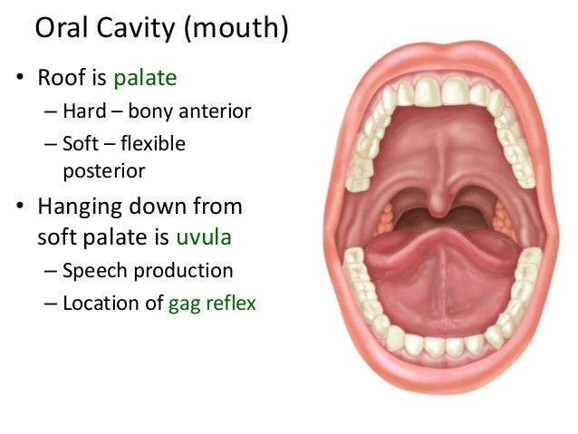 Function Of Mouth In Digestive System 23