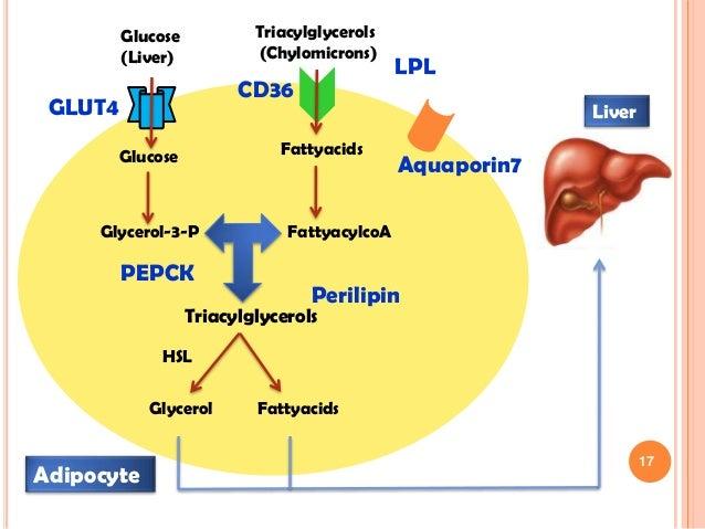 metabolism testosterone