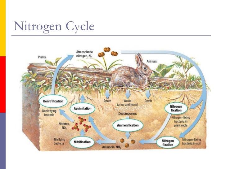 freshwater wetlands the nitrogen cycle diagram freshwater wetland diagram of the nitrogen cycle #10