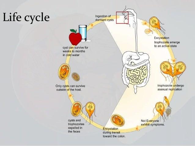 food borne animal parasites, vi, Sphenoid