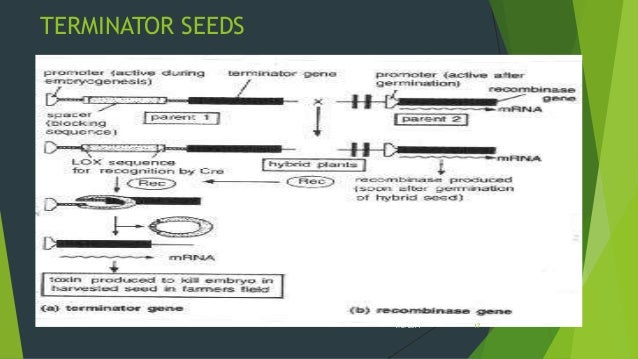 terminator seeds and its effects on Monsanto has never commercialized a biotech trait that resulted in sterile, or terminator, seeds the company has no plans or research that would violate this commitment.