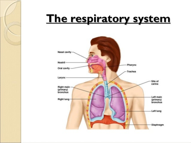 respiratory system ppt, Human Body