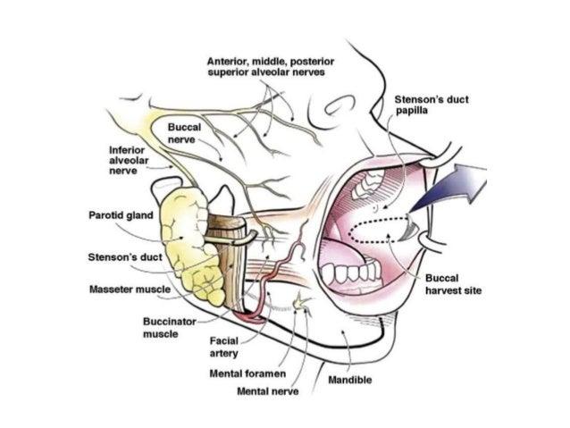 Buccal fat pad anatomy