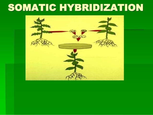 SOMATIC HYBRIDIZATION