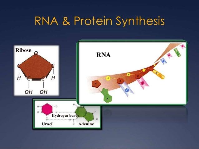 RNA & Protein Synthesis Uracil Hydrogen bonds Adenine Ribose RNA