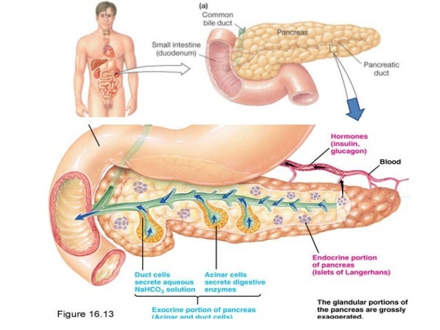 """3 briefly outline the endocrine and exocrine functions of the pancreas Pancreas: primarily an organ in contrast to the endocrine glands are the """"exocrine glands"""" the control of body functions by the endocrine system is a."""